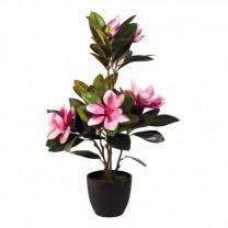 """Magnolias """"éternels"""""""
