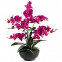Orchidée éternelle «majesté»