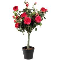 Le rosier en pot éternel